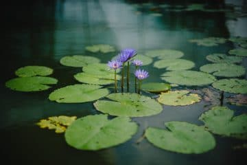 A beautiful water lily flower